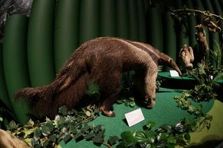 アマゾンの哺乳類@アマゾン起源のアリクイ、オオアリクイ(Myrmecophaga tridactyla)