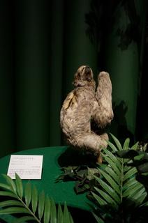 アマゾンの哺乳類@アマゾン起源のナマケモノ、ノドチャミユビナマケモノ(Bradypus variegatus)