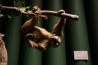 アマゾンの哺乳類@アマゾン起源のナマケモノ、ホフマンナマケモノ(Choloepus hoffmanni)