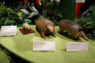 アマゾンの哺乳類@アマゾン起源のアルマジロの剥製