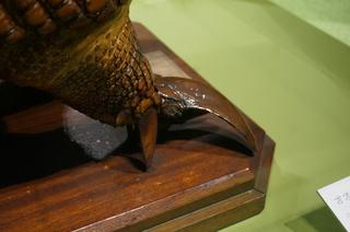 アマゾンの哺乳類@アマゾン起源のオオアルマジロ(Priodontes maximus)の鋭い爪
