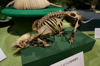 アマゾンの哺乳類@アマゾン起源のアルマジロの骨格標本