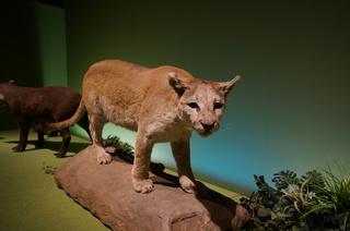 アマゾンの哺乳類@アマゾンに進出した哺乳類、ピューマ(Puma)
