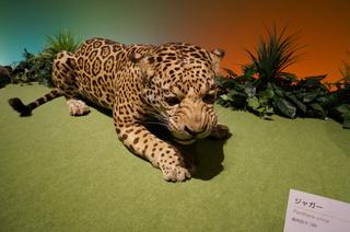 アマゾンの哺乳類@アマゾンに進出した哺乳類、ジャガー