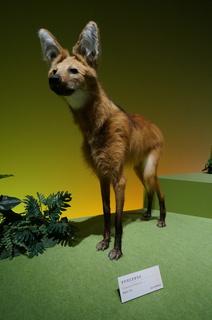 アマゾンの哺乳類@アマゾンに進出した哺乳類、タテガミオオカミ(Chrysocyon brachyurus)