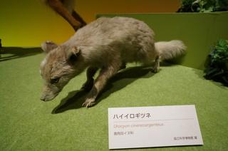 アマゾンの哺乳類@アマゾンに進出した哺乳類、ハイイロギツネ(Urocyon cinereoargenteus)