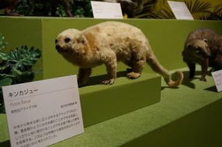 アマゾンの哺乳類@アマゾンに進出した哺乳類、キンカジュー(Potos flavus)