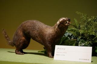 アマゾンの哺乳類@アマゾンに進出した哺乳類、グリソン(Galictis vittata)