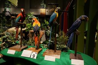 アマゾンの鳥類@コンゴウインコの仲間