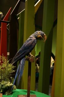アマゾンの鳥類@コンゴウインコの仲間、スミレコンゴウインコ