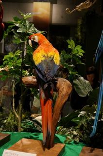 アマゾンの鳥類@コンゴウインコの仲間、コンゴウインコ(Ara macao)