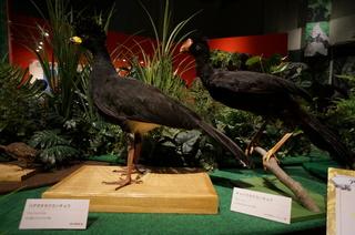 アマゾンの鳥類@アマゾン特有の鳥、ハゲガオホウカンチョウ