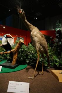 アマゾンの鳥類@アマゾン特有の鳥、カンムリノガンモドキ