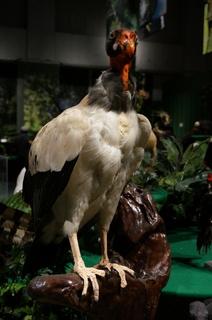 アマゾンの鳥類@アマゾン特有の鳥、トキイロコンドル