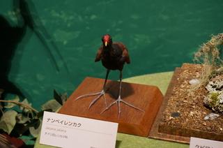 アマゾンの鳥類@アマゾン特有の鳥、ナンベイレンカク(Jacana jakana)