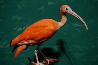 アマゾンの鳥類@アマゾン特有の鳥、ショウジョウトキ