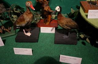 アマゾンの鳥類@アマゾン特有の鳥、アカハシリュウキュウガモとシロガオリュウキュウガモ