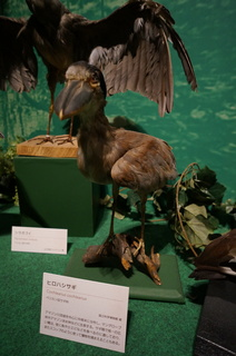 アマゾンの鳥類@アマゾン特有の鳥、ヒロハシサギ