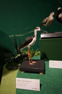 アマゾンの鳥類@アマゾン特有の鳥、クロエリセイタカシギ