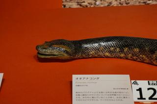 アマゾンの爬虫類・両生類@アマゾンの爬虫類、オオアナコンダ