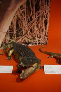 アマゾンの爬虫類・両生類@アマゾンの爬虫類、メガネカイマン