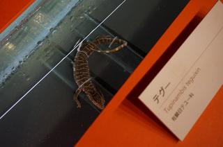 アマゾンの爬虫類・両生類@アマゾンの爬虫類、テグー