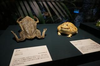 アマゾンの爬虫類・両生類@アマゾンのカエルたち、ピパとベルツノガエル