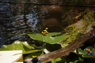 アマゾンの爬虫類・両生類@アマゾンのカエルたち、キオビヤドクガエル