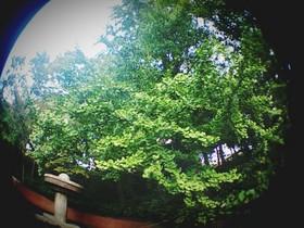 板橋区の見次公園のイチョウ
