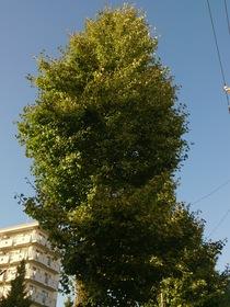 板橋区、西台付近のイチョウの木