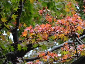 SONYのDSC-QX10で森林公園付近の紅葉したカエデをテスト撮影